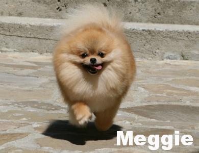 Pomeranian Aljens Twilight Meggi